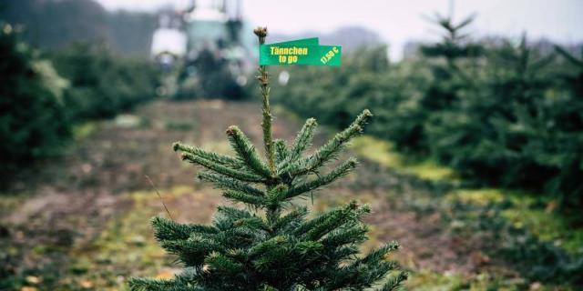 Rivas recoge a domicilio los abetos de Navidad para darles una segunda vida